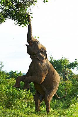 Elefant auf zwei Beinen - p1259m1111491 von J.-P. Westermann