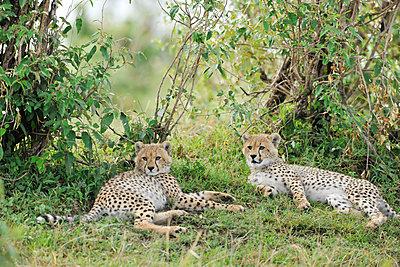 Two young cheetahs - p533m1225549 by Böhm Monika