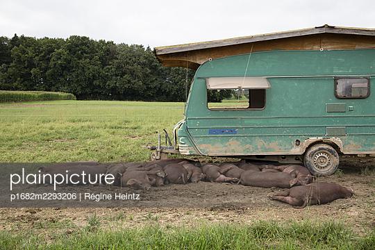 Pigs on a field - p1682m2293206 by Régine Heintz