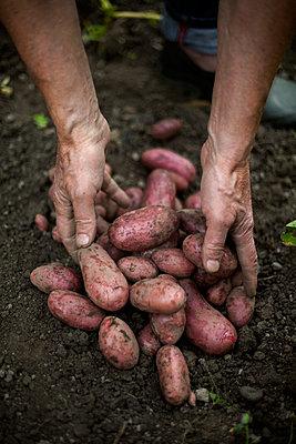 """Harvesting """"Roseval"""" potatoes, Hautes-Pyrénées, France - p1028m2101083 von Jean Marmeisse"""
