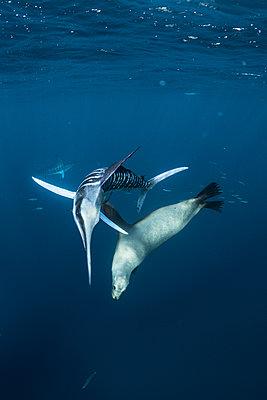 Striped marlin hunting mackerel and sardines, joined by sea lion - p429m2068362 by Rodrigo Friscione