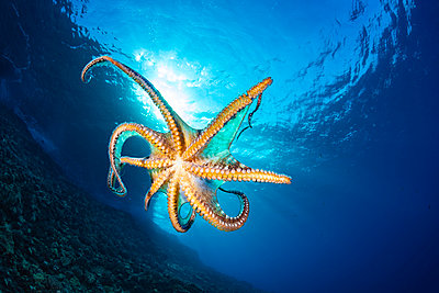 Day octopus (Octopus cyanea) in mid-water; Hawaii, United States of America - p442m2074132 by Dave Fleetham