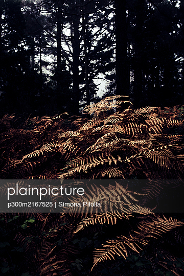 Spain, Canary Islands, Tenerife, Close-up of forest ferns - p300m2167525 by Simona Pilolla