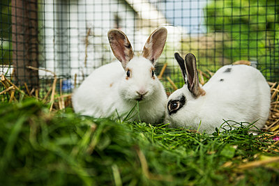 Two rabbits in a cage on a meadow - p300m1166495 by Christophe Papke