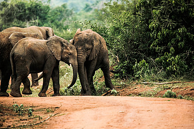 Uganda, Kigezi National Park, Young elephants playing together - p300m2004719 von realitybites