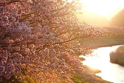 Cherry blossoms - p307m962364f by Tetsuya Tanooka