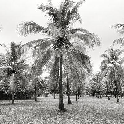 Australia, Rows of Coconut Palm Trees - p1154m2280932 by Tom Hogan