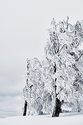 Iced trees in a meadow - p1312m2145086 by Axel Killian
