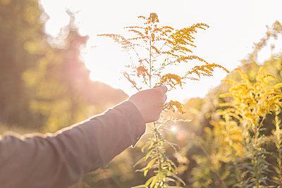 Frau hält Wildblume im Sommer - p1396m1475425 von Hartmann + Beese