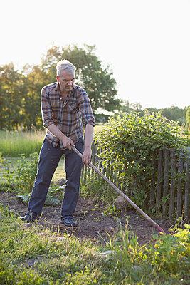 Mature man working in vegetable garden - p301m961050f by Halfdark