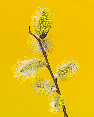 Pussy Willow Going to Seed against Yellow Background - p694m2068299 by Lori Adams