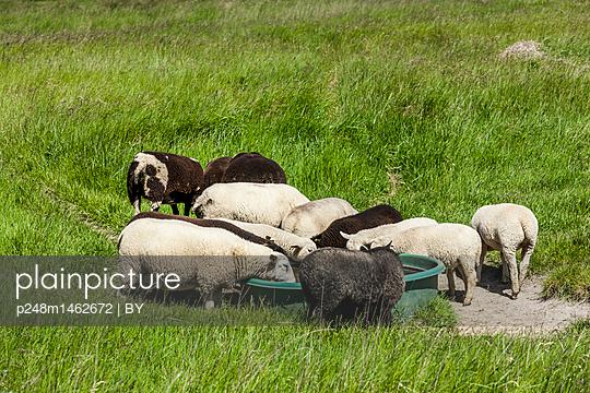 Schafe an der Tränke - p248m1462672 von BY