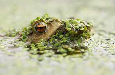 Common Toad - p1144m967251 by Els Branderhorst