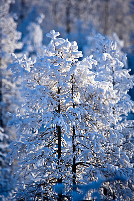 Snow covered treetops, Canada - p4427532f by Design Pics