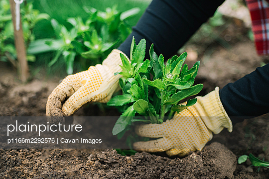woman  planting flowers in the garden - p1166m2292576 by Cavan Images