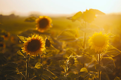 Close-up of sunflowers growing on field - p1166m1547429 by Cavan Social