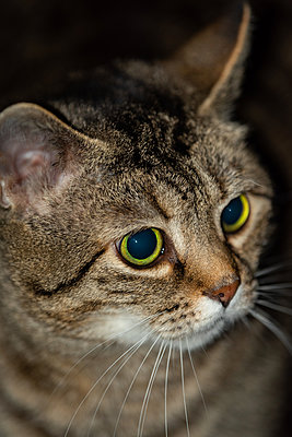 Tabby cat close-up - p1418m2244229 by Jan Håkan Dahlström