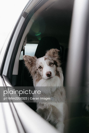 Red Merel Border Collie looking through the car window - p1166m2200323 by Cavan Images