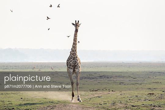 Giraffe, Giraffa camelopardalis, running, Chobe national park, Botswana, Southern Africa - p871m2077706 by Ann and Steve Toon