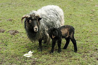 Schaf mit Lamm - p1650319 von Andrea Schoenrock