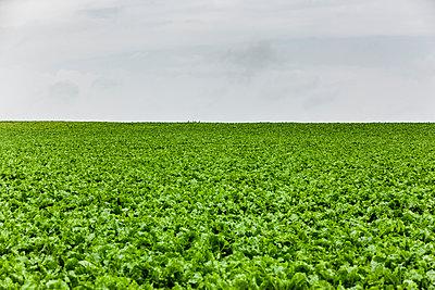 Anbau von Gemüse - p248m1462793 von BY
