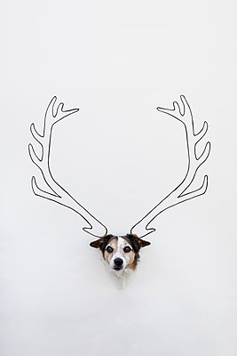 Portrait of mongrel with drawn deer antler on white ground - p300m2121905 by Petra Stockhausen