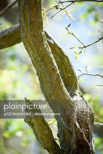 Eichen-Prozessionsspinner - p1273m2141962 von Melanka Helms