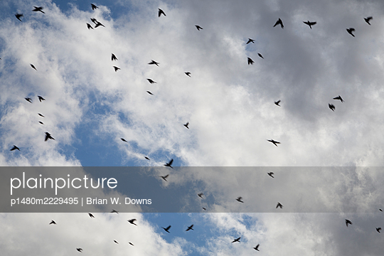 Blackbird flock fying in front of blue sky and clouds - p1480m2229495 by Brian W. Downs