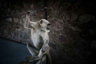 Northern Plains Gray Langur - p1007m1144341 by Tilby Vattard