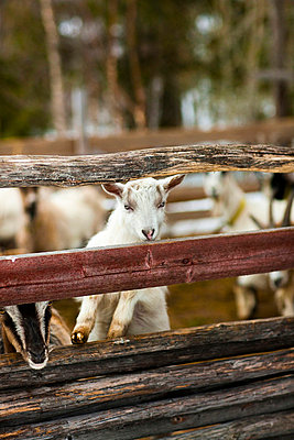 White goat kid in animal pen - p312m720242f by Per Magnus Persson