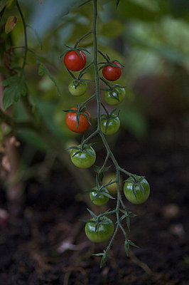 Tomaten reif und unreif - p6060601 von Iris Friedrich