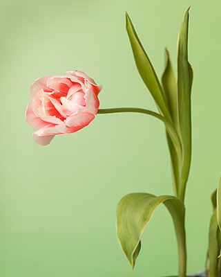 Tulip, Bowed and Curved on Stem against Light Green Background - p694m2068706 by Lori Adams