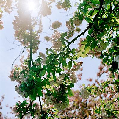 Cherry tree - p949m757929 by Frauke Schumann