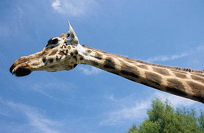 Giraffe - p0451211 by Jasmin Sander