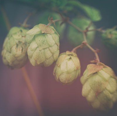 Common hop, umbels, close-up - p1578m2159163 by Marcus Hammerschmitt