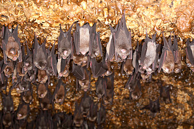 Bats hanging - p312m956925f by Jens Rydell