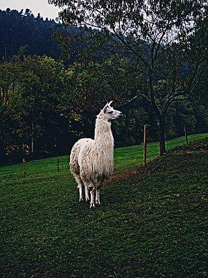 Lama im Schwarzwald - p318m1170039 von Christoph Eberle