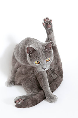 Grey cat - p7750143 by angela pfeiffer