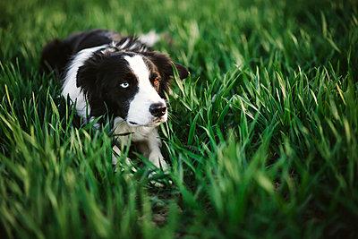 Dog lying in grass - p312m2079591 by Matilda Holmqvist