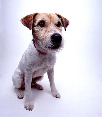 Porträt eines Terriers - p1082m2182480 von Daniel Allan