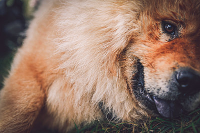 Chow chow close-up - p1150m1194464 by Elise Ortiou Campion