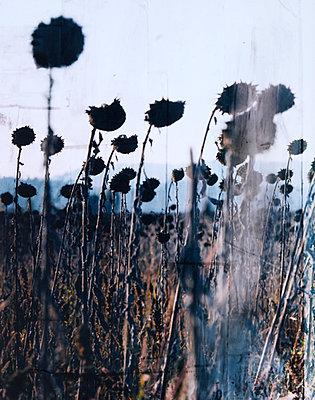 Sonnenblumenfeld - p1421m1476791 von Simon Fröhlich