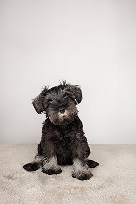Puppy Schnauzer - p1623m2283726 by Donatella Loi
