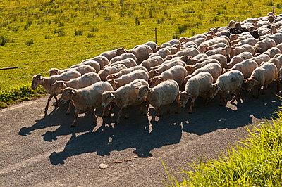 Schafherde im Baskenland - p470m1043008 von Ingrid Michel