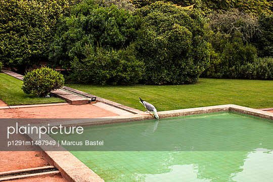 Drinking Seagull - p1291m1487949 by Marcus Bastel