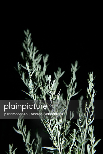Wormwood at night - p165m853615 by Andrea Schoenrock