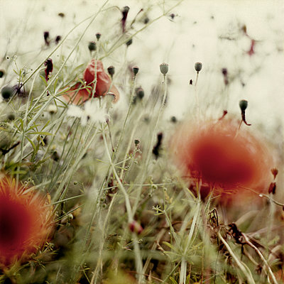 Poppies - p1186m972790 by Christine Henke