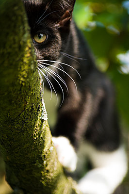 Black and white cat with prominent white whiskers in a tree peering at the camera from behind a branch. - p1433m2008060 by Wolf Kettler