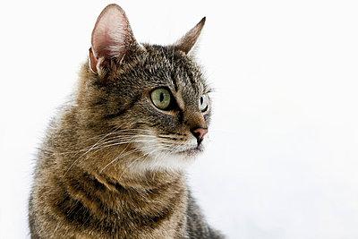 Domestic cat, portrait, close-up - p3008819f by Dieter Heinemann