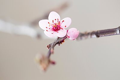 Close up of pink tree blossom - p429m1106890f by Christine Schneider